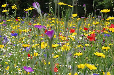 Cornfield annual seed