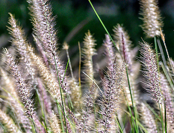 Meadow Grass Seed