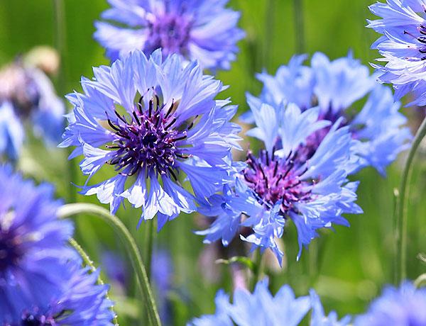 Wildflower Seeds Bulk