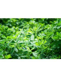 Alfalfa Lucerne Green Manure Seed