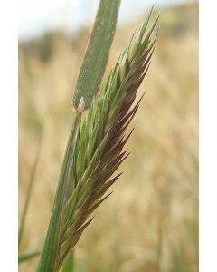 Sweet Vernal Grass Seed