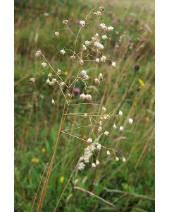 Quaking-Grass Grass Seed