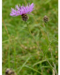 Lesser Knapweed Centaura Nigra Seed Packet 1 Gram
