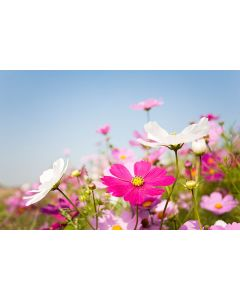 Hardy Annual 100% Wildflower Seed Mix