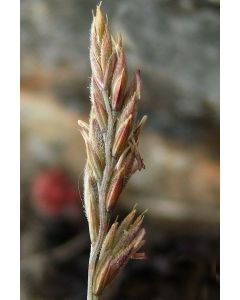 Sheeps Fescue Grass Seed