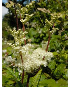Meadowsweet Filipendula Ulmaria Seed Packet 1 Gram