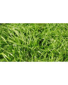 Italian Ryegrass Seed