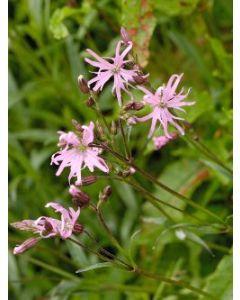 Native Wildflower Meadow Seed Mix   Wetland Areas