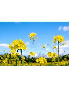 Mustard Seed Green Manure