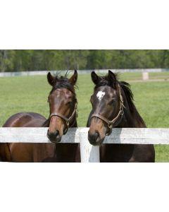 Horse & Pony Paddock Grazing Seed Mix