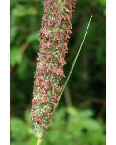 Timothy Grass Seed