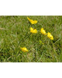 Meadow Buttercup Ranunculus Acris Seed Packet 1 Gram