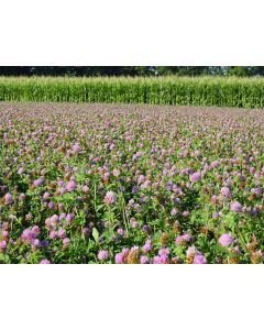 Red Clover Seed   1 Kilo