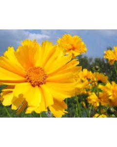 Rainbow Annual 100% Wildflower Seed Mix