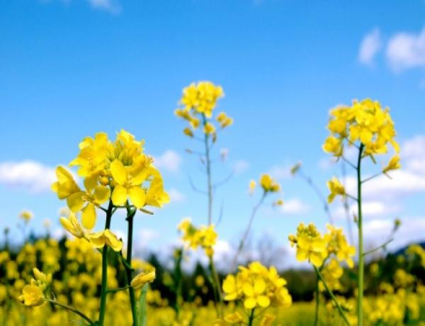 Mustard & Phacelia for Green manure