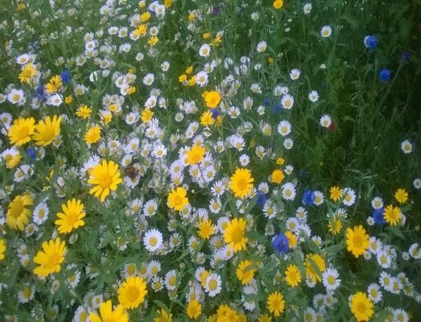 Successful Wild Flower Meadow 2016