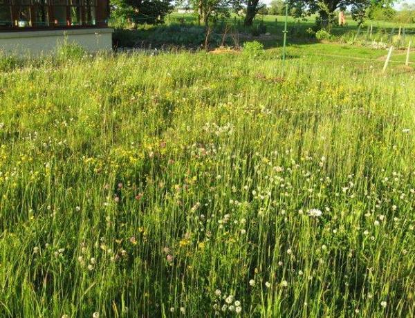 Perennial wild flower meadow in first year development