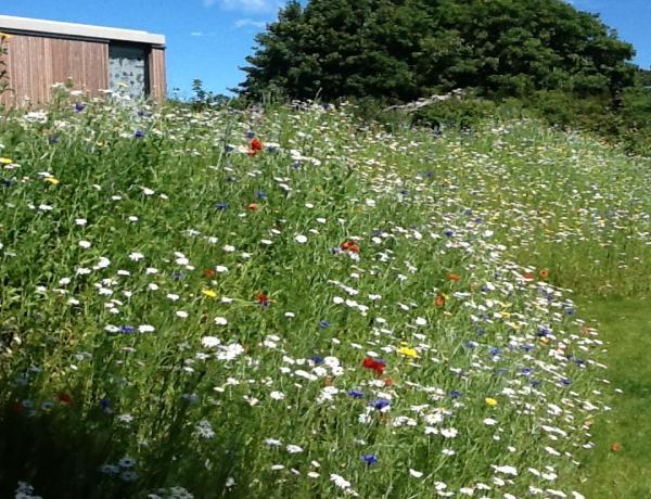 Wildflower meadow seed in flower