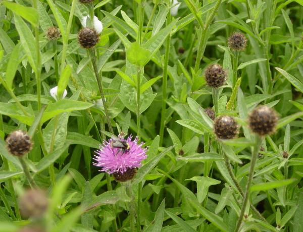 Clover for Green Manure