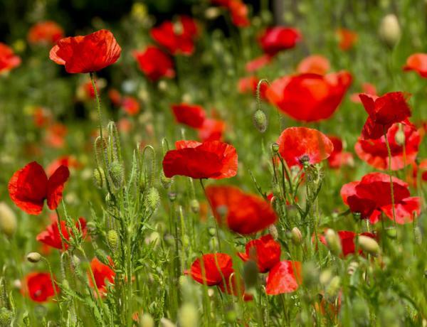 Red Flanders Poppy