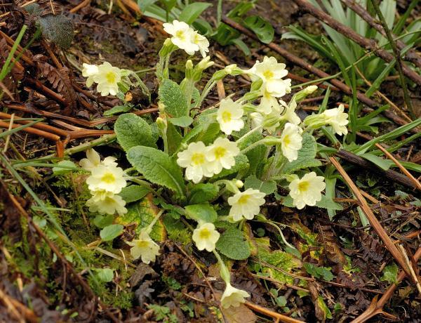 Where & How to grow Wild Primrose ( Primula Vulgaris)