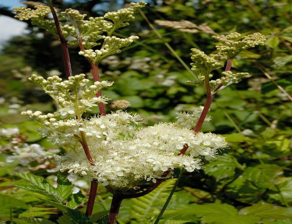 Where & How to grow Meadowsweet Filipendula Ulmaria