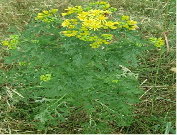 Replacing Ragwort with Herbs