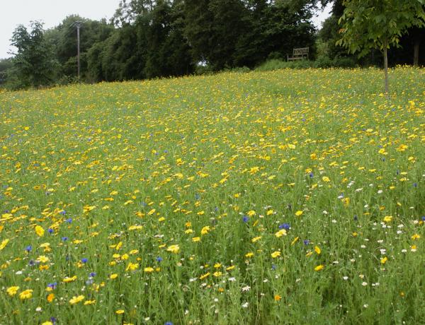 Corn marigold dominating a wild flower meadow