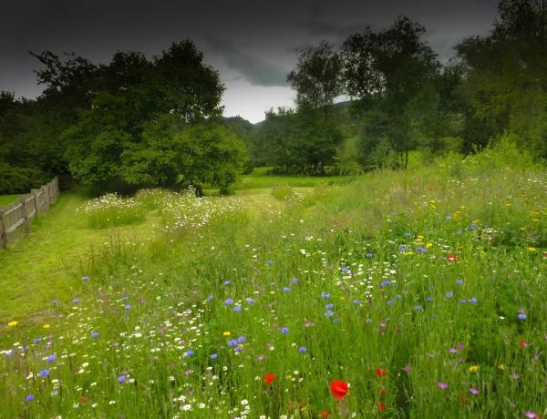 Cornfield Annuals in Shropshire