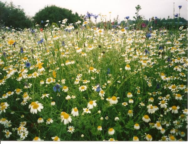 Creating a wild flower meadow photos