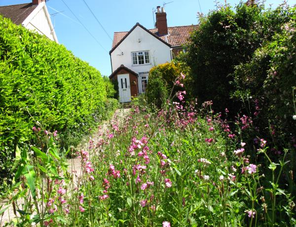 Red campion in wild flower meadow