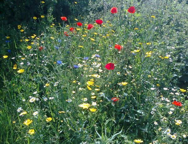 Small plot of cornfield annuals