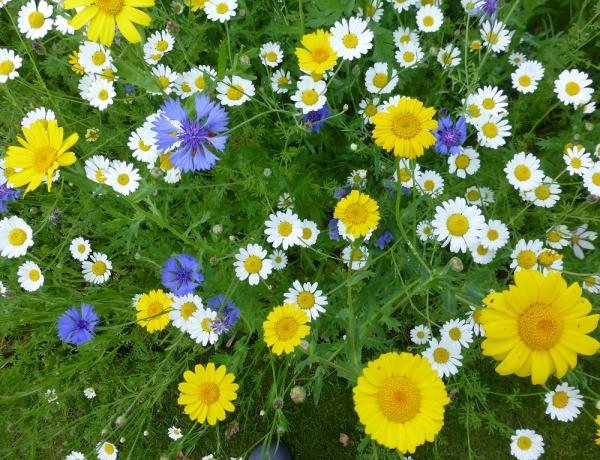 How and Where to Grow Corn Marigold