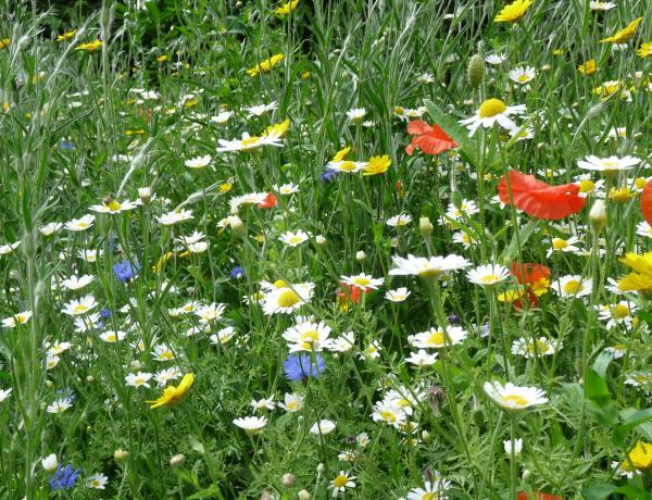 More colourful cornfield annuals