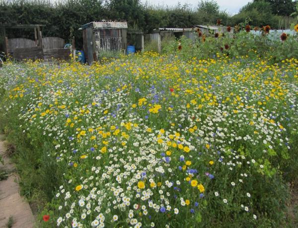 Cornfield Annuals in Cheshire