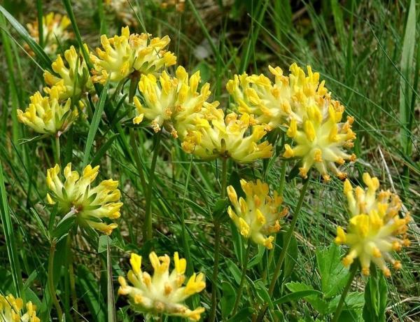 Where & How to Grow Kidney Vetch  ( Anthyllis Vulneraria)
